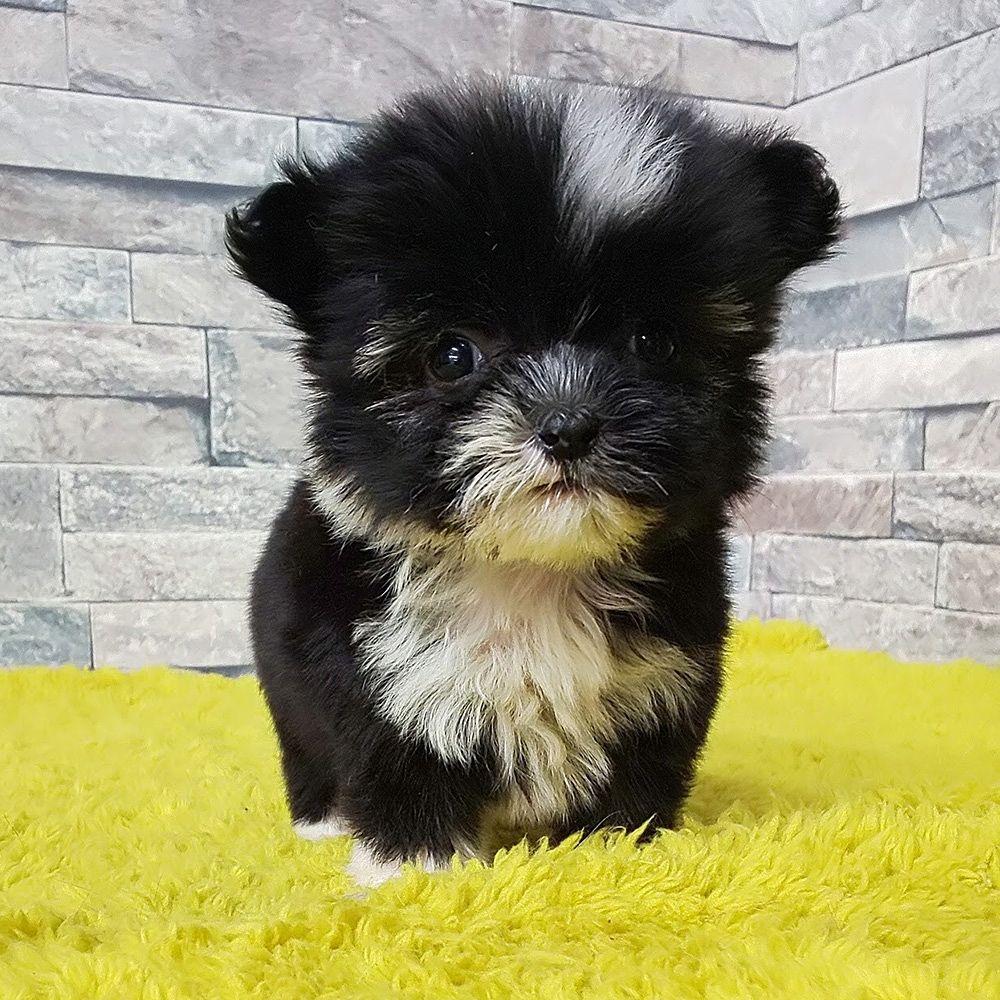 東京の看板犬 チャイニーズクレステッドドッグ チャイクレ すーちゃんのお子さんたちがデビューしました チャイクレというと 毛がない犬 と想像するかも知れませんが 黒い方の女の子は パウダーパフという 全身に毛があるタイプです 白っぽい方は男の子