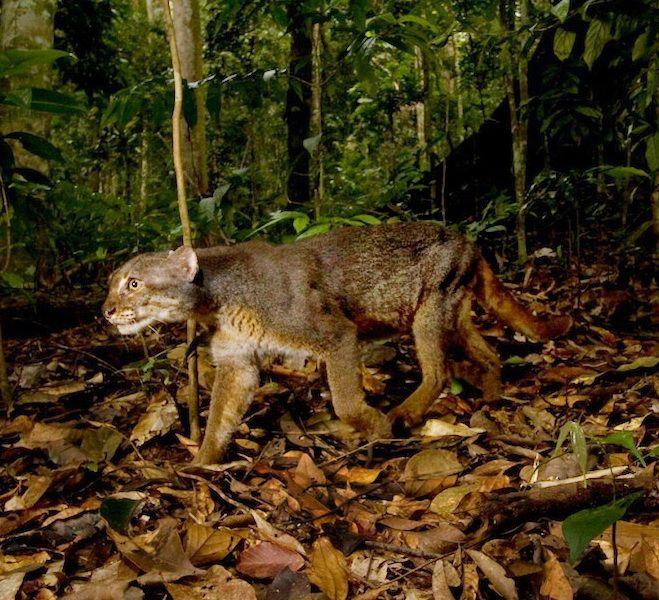 In Images The Rare Bay Cat of Borneo Wild cat species