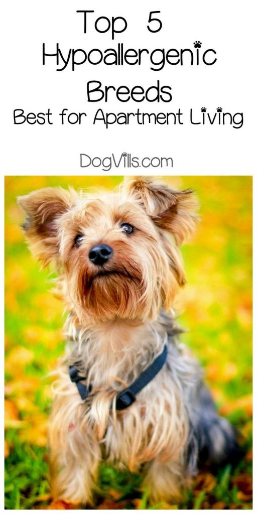 We Have Your Top 5 Hypoallergenic Breeds Best For Apartment Living Right Here It May Be A Small E But You Can Still Man S Friend