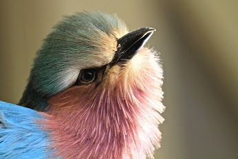 طيور الفردوس Google Birds Animals Bird