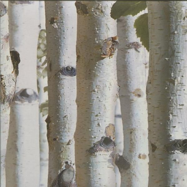 New luxury muriva bluff forest wood silver birch tree bark
