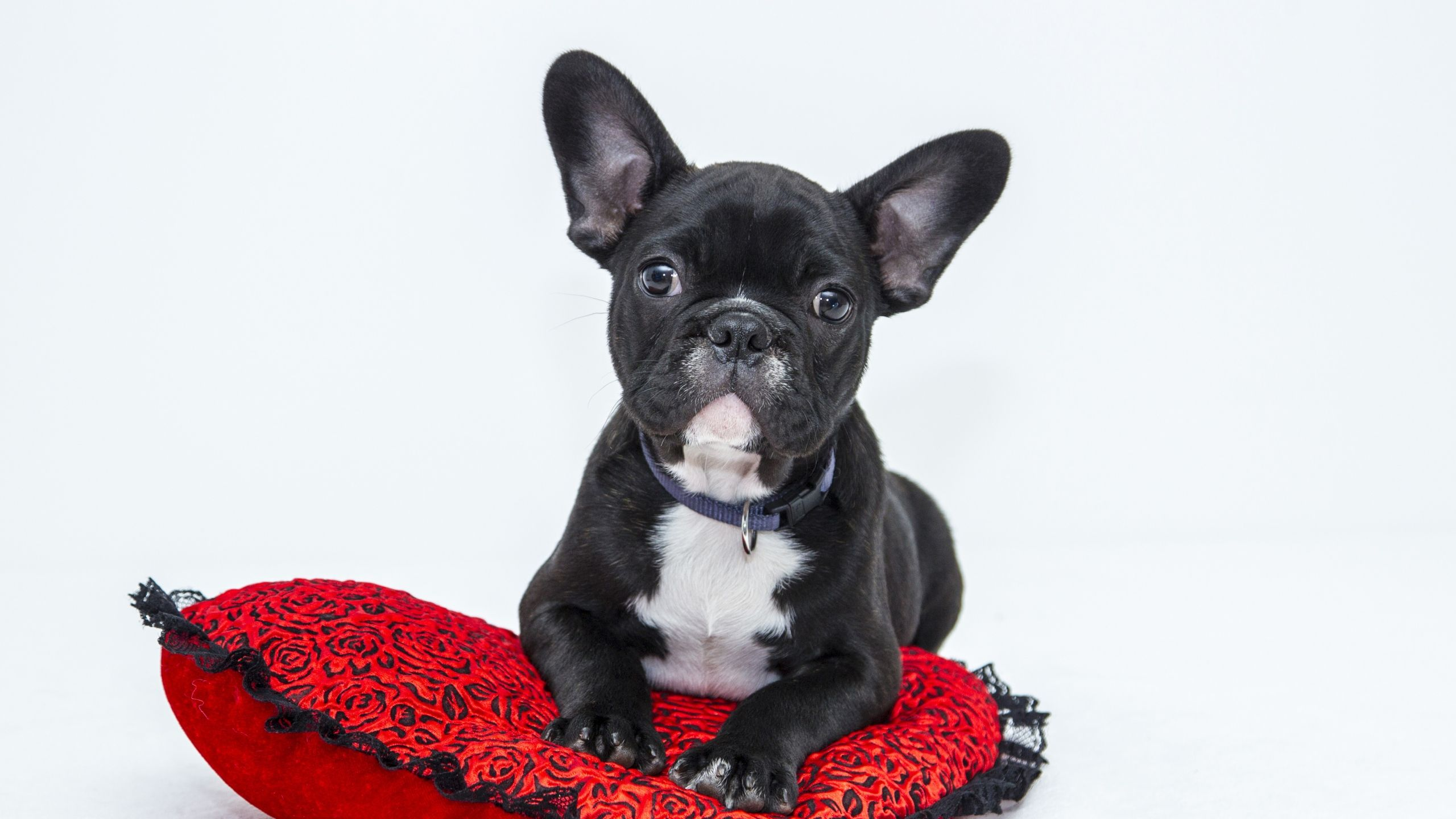 2560x1440 wallpaper bulldog dog pillow puppy dogs pinterest dog