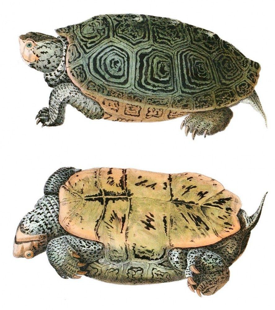 Animal - Reptile - Turtle - (2C) | drawing inspiration | Pinterest ...