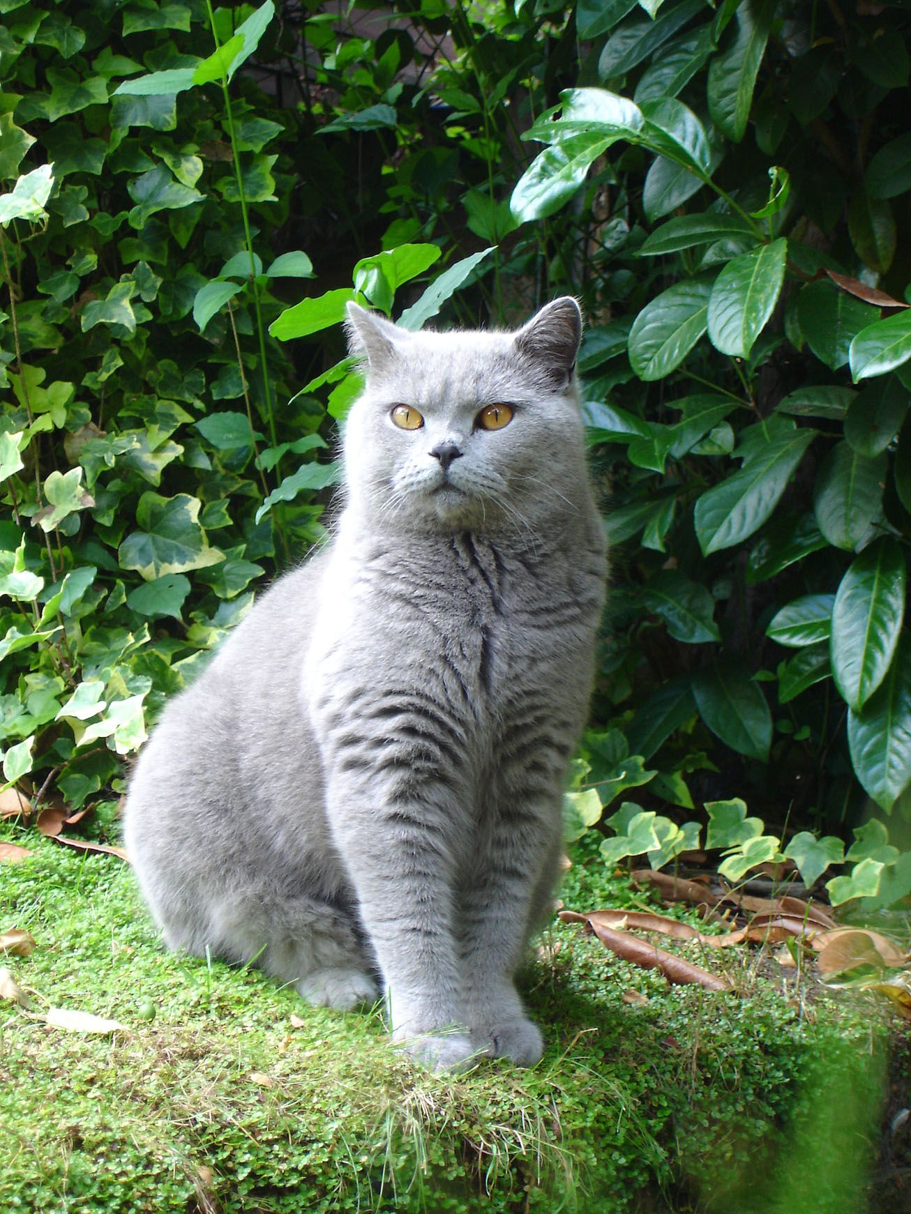 I Will Have A British Shorthair Named Wilton Who Will Be Fancy And Charming Cute Cats And Dogs British Shorthair Cats Gorgeous Cats