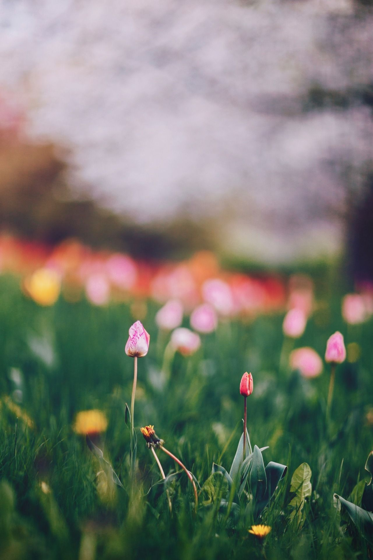 Blooming wishes happy birthday, dear Cindy @petalouda5 - #(source) #berlin #garden #landscape #meolog #nature #on #photographers #photography #tulips #tumblr