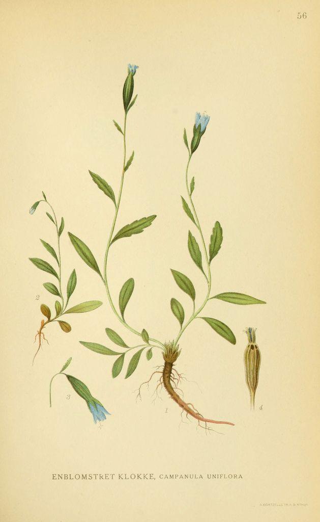 Billeder af nordens flora. v.1 København,G.E.C. Gad's forlag,1917-1927. biodiversitylibrary.org/page/10459313