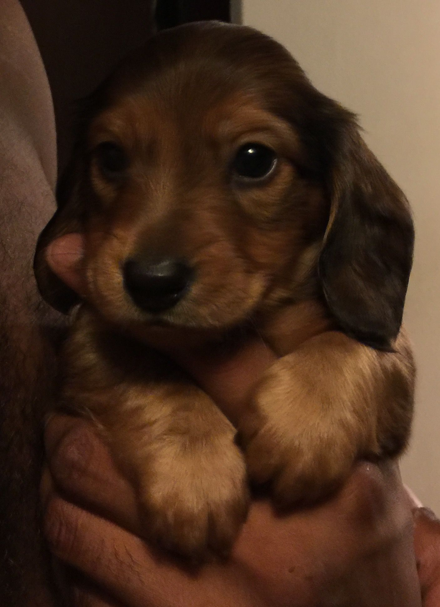 Benny 5 weeks old Mimi Long haired dachshund