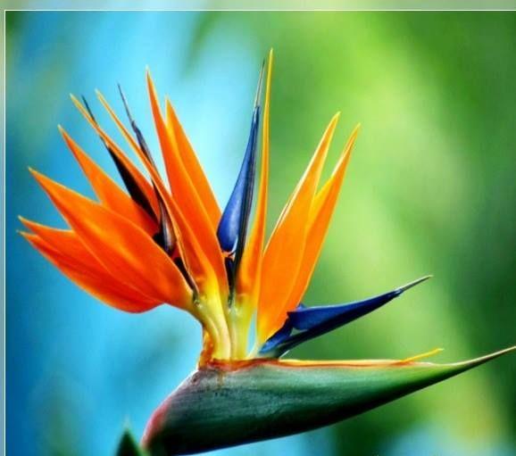 Cennet Kusu Cicegi Turna Gagasi Steralicya Strelitzia Ulkemizde Cennet Kusu Cicegi Veya Birds Of Paradise Flower Birds Of Paradise Plant Paradise Plant