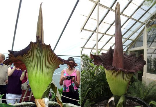 A Superbly Stinky Corpse Flower Is About To Blossom In Denver For The First Time In 15 Years Corpse Flower Stinky Flower Flowers