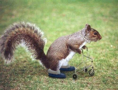 Image result for squirrel with walker