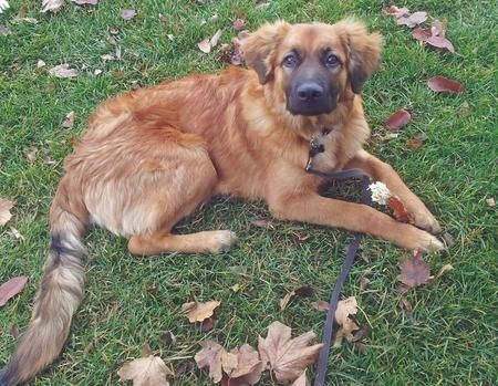 Isuzu The German Shepherd Mix Dogs Mixed Breed Dogs Dog Breeds