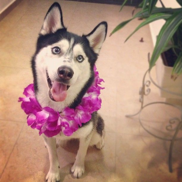 Siberian Husky Outgoing And Cheeky Cutee Animals Cute Animals
