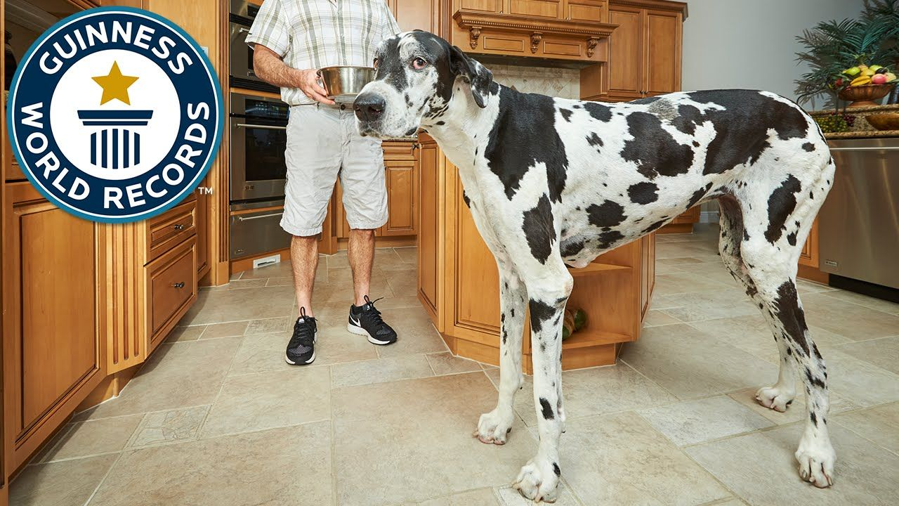 Tallest Female Dog Meet The Record Breakers With Images