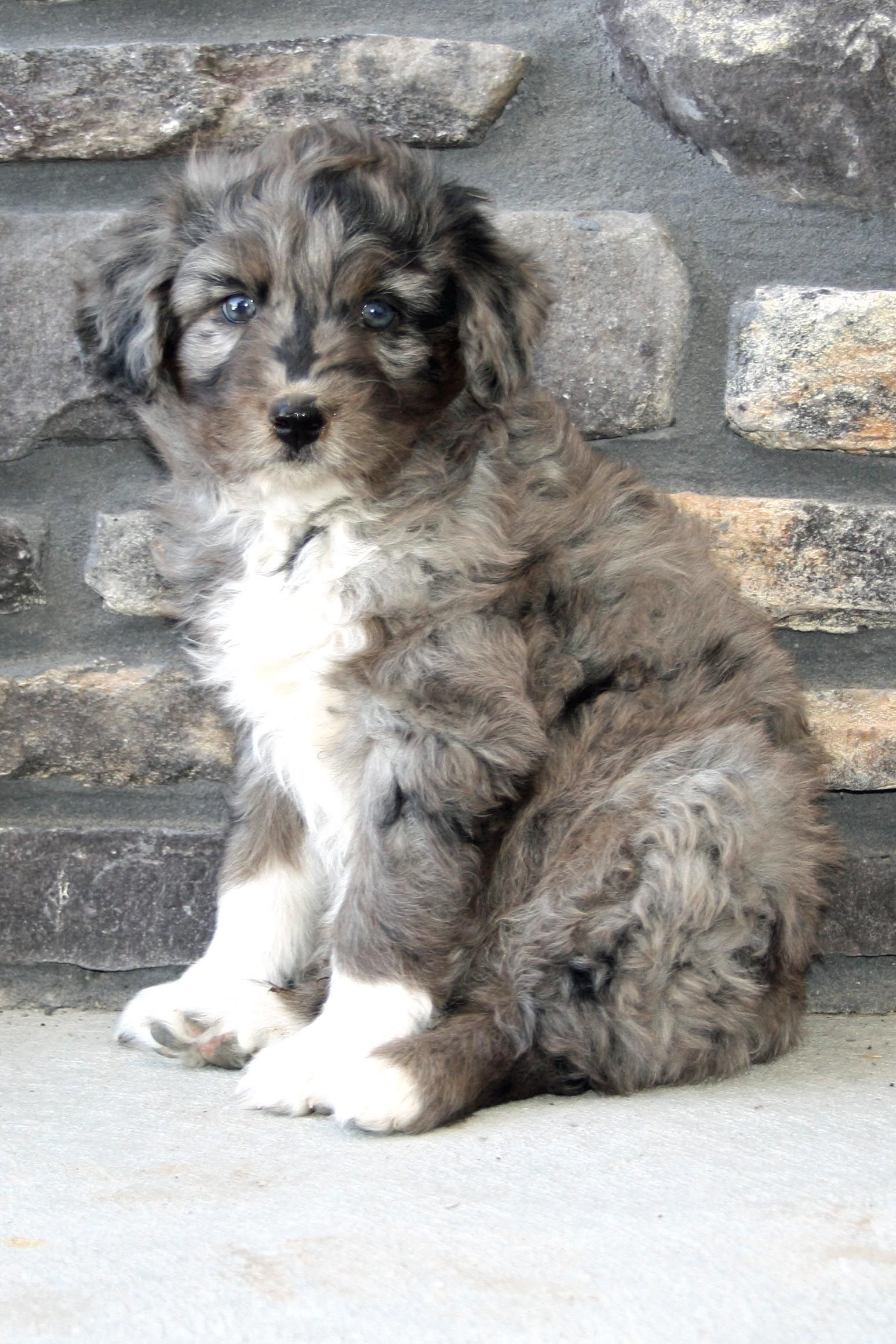 Aussiedoodle Beautiful Dogs Baby Animals Dog Lovers