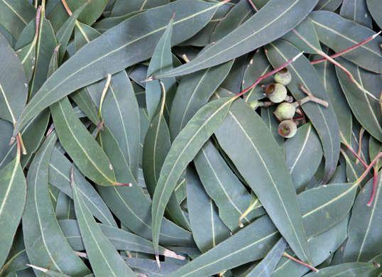 7 Herbs That Clean House Eucalyptus Essential Oil Herbs