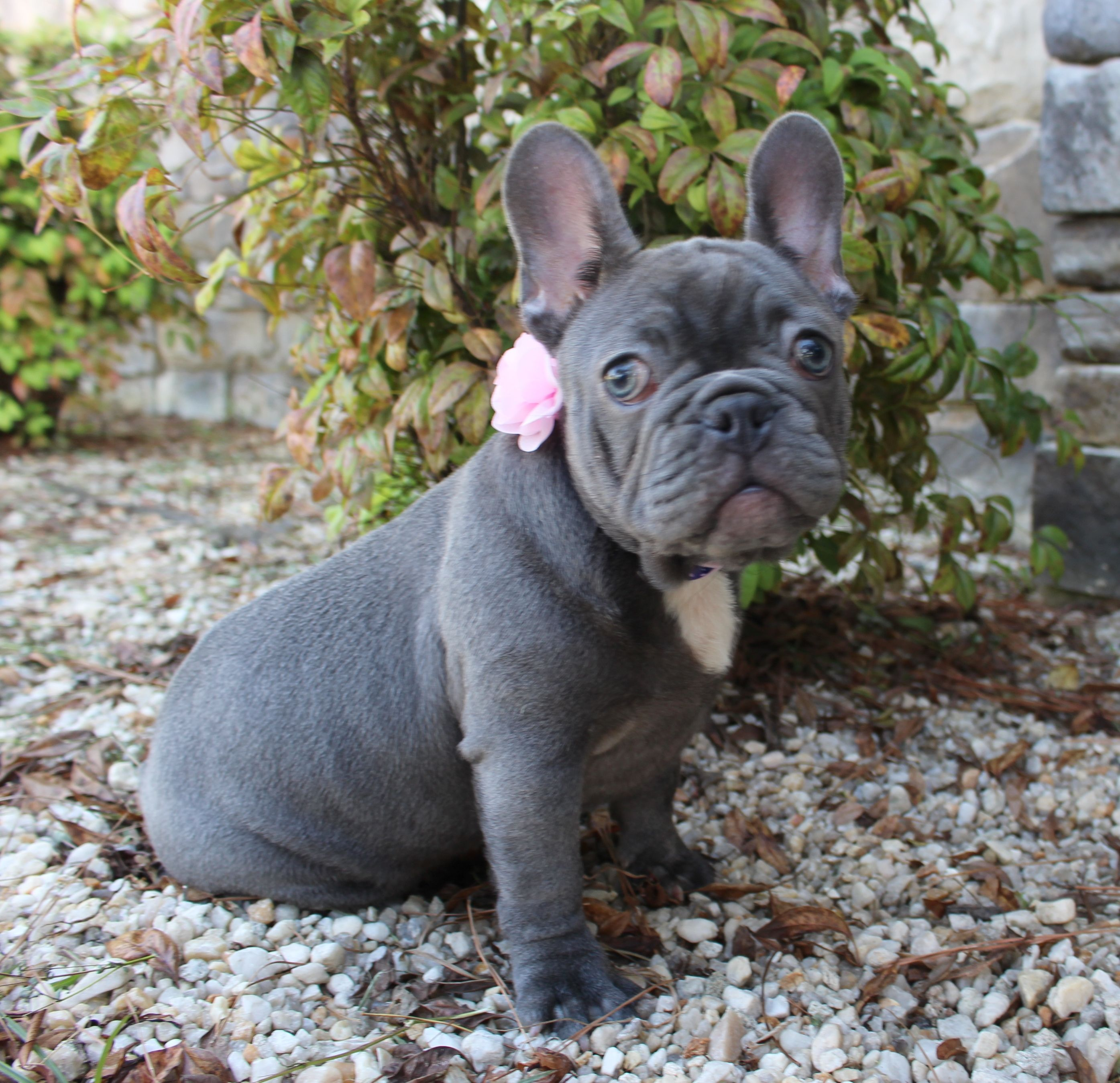 Currently Avail French Bulldog Female Mom Is Lilac Dad Is Lilac
