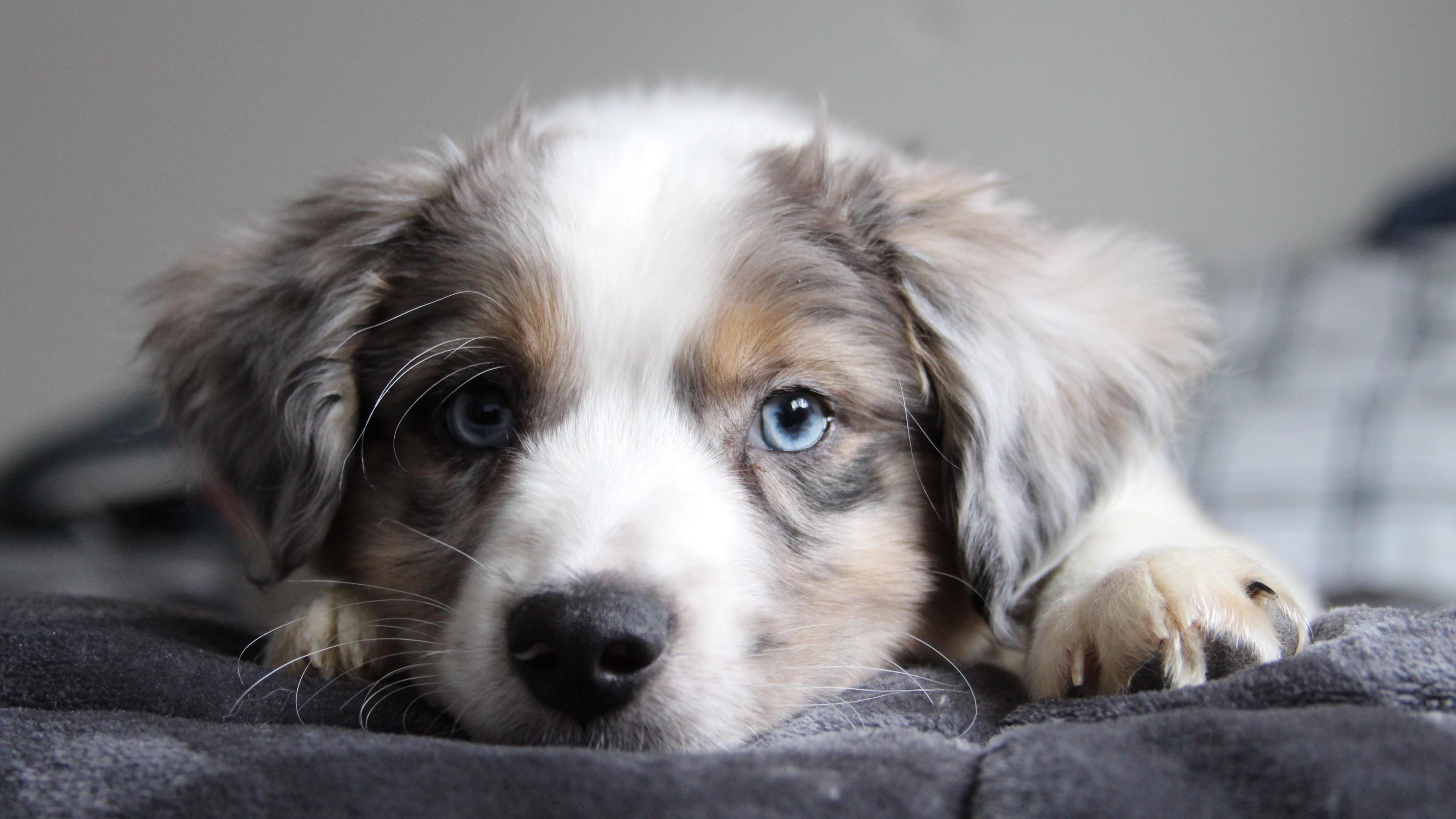 Cutest Border Collie Puppy Wallpaper