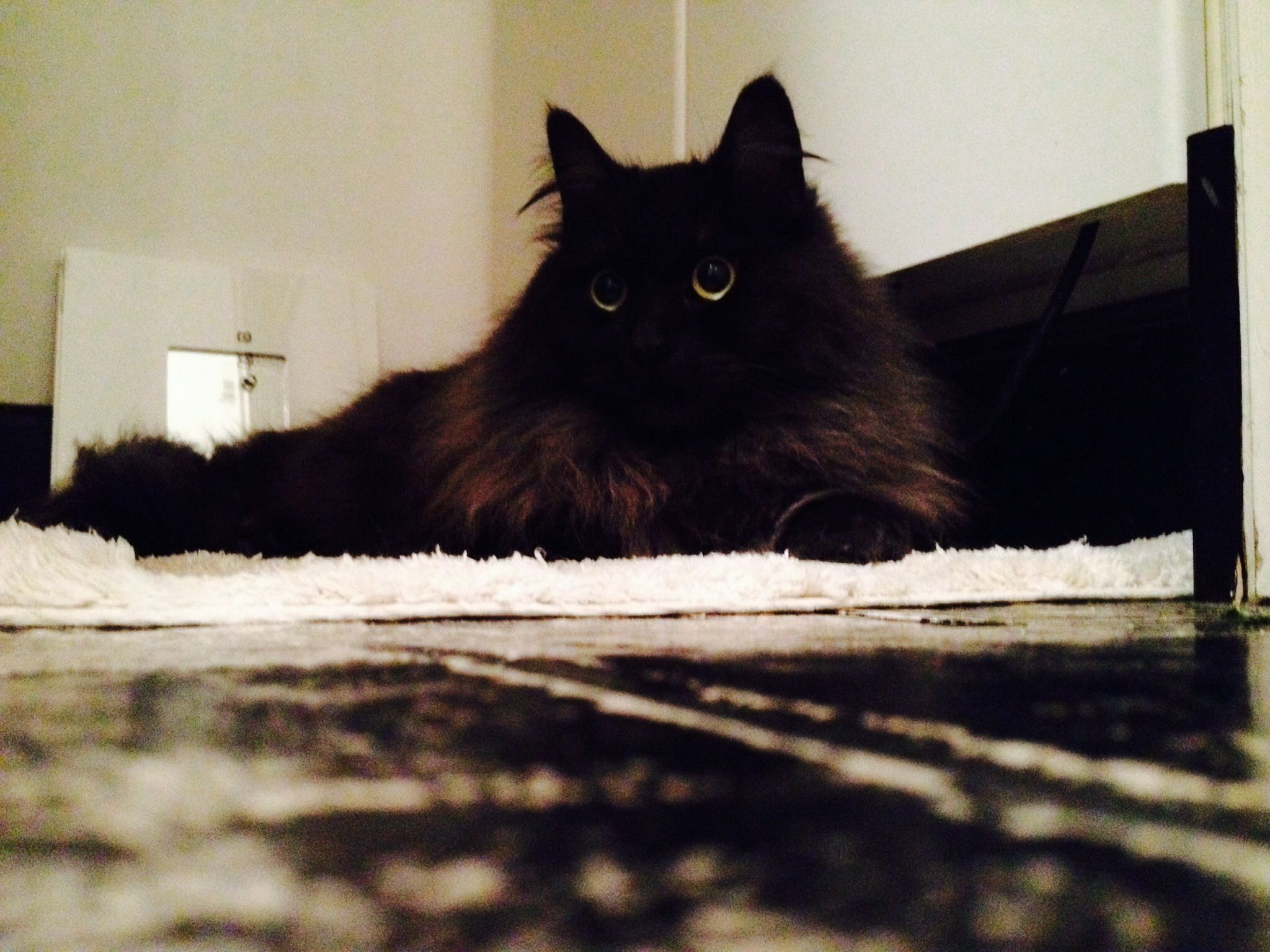 My Persian mix, Mr. Lewis ) isn't he the cuuuutest