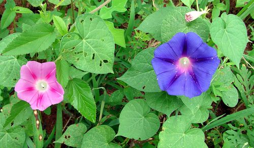 Lavender And Blue Morning Glories Blue Morning Glory Morning Glory Pink And Purple Flowers