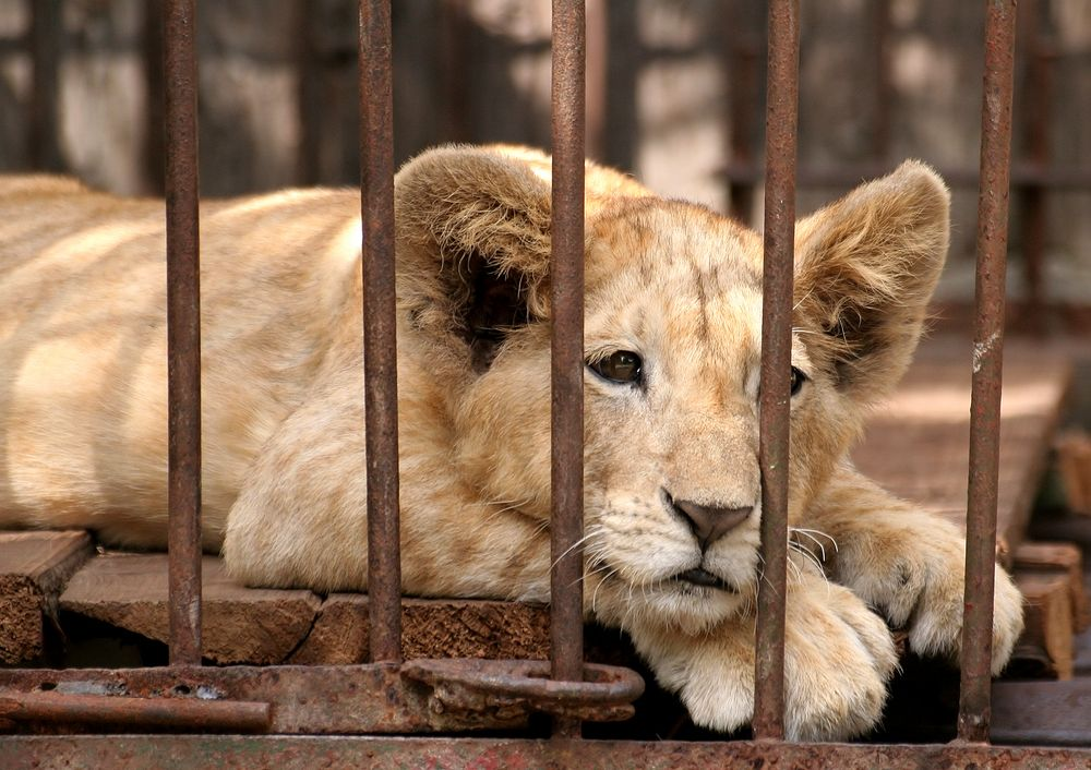 European Zoos Kill As Many As 5 000 Healthy Animals Every Year Many Zoos Routinely Kill Healthy Individuals They Refer To As Surplu Animals Zoo Animals Lions