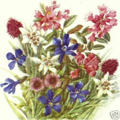 Alpine flower illustration (postcard?) (010 by ernie's collection, via Flickr)