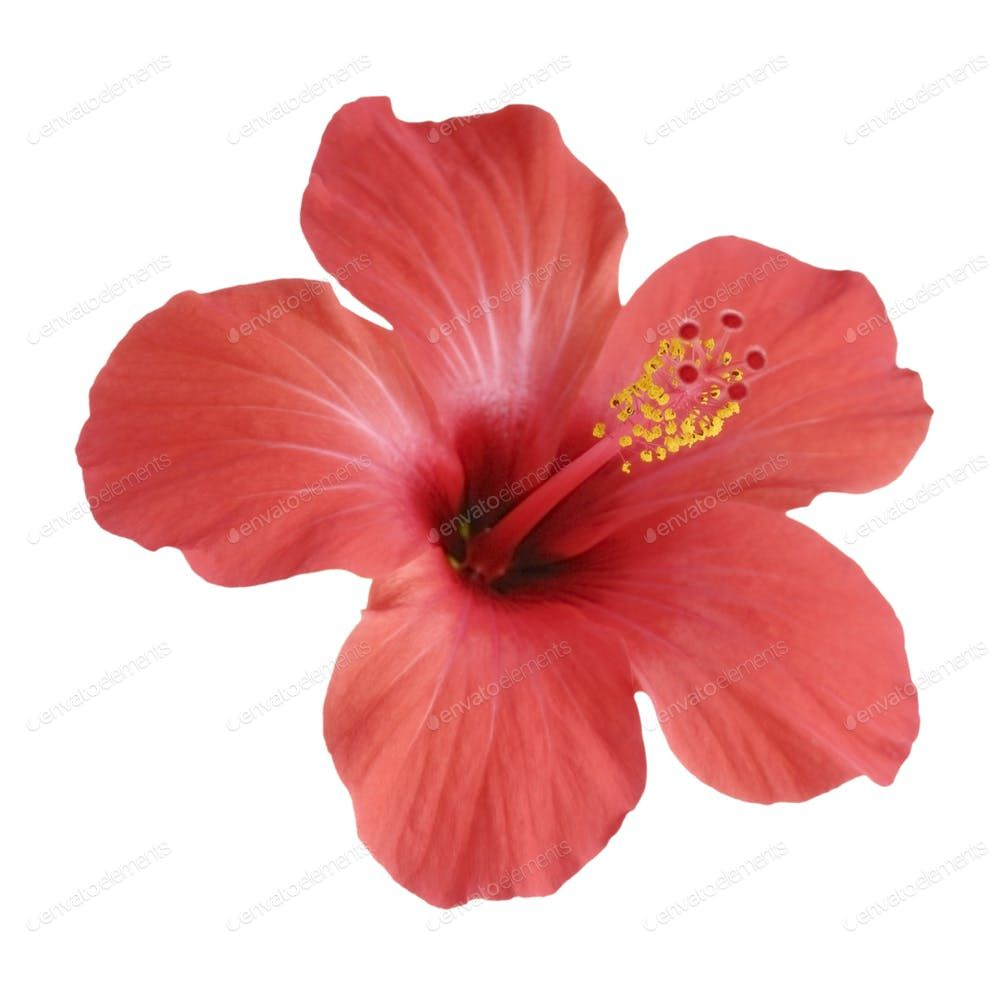 Red Hibiscus Flower Isolated On White Background Photo By E Mikh On Envato Elements Hibiscus Flowers Purple Hibiscus White Background Photo