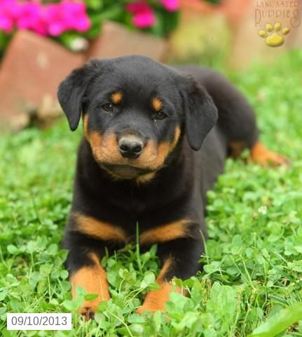 Roxanne Rottweiler Puppy For Sale In Ephrata Pa Rottweiler