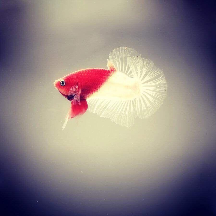 Ohmpk Red Koi Kohaku Full Mask Male Ikan Cupang Binatang Hewan