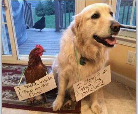 dog and chicken