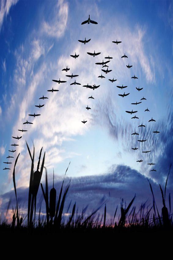 Xxxl Migrating Canada Geese Bird Migration Birds In Flight Beautiful Birds