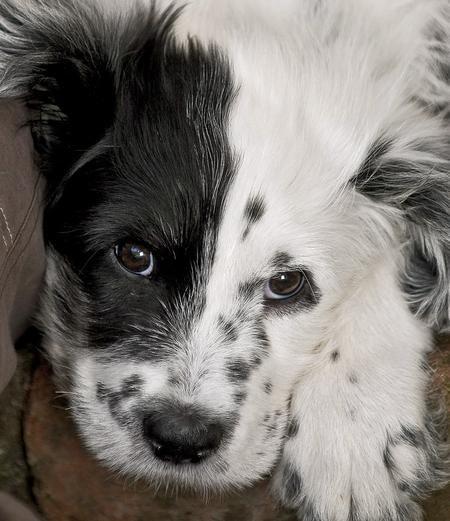 Beautiful Golden Retriever X Bearded Collie Pups For Sale In Peterhead Grampian Scotland Dogs And Puppies Bearded Collie Puppies Puppies For Sale