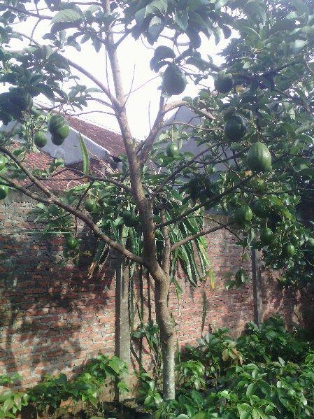 Gambar Kebun Mangga