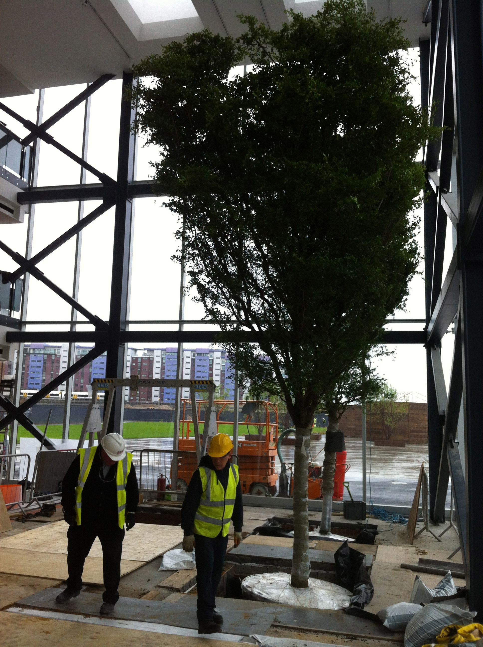 The second of 4 8m tall black Olive trees planted in tree pit in atrium space in office building