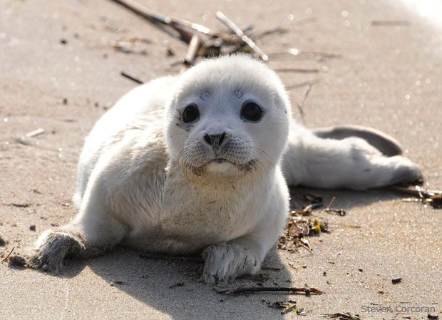 Cute And Interesting Animal Facts | Wildlife, Harbor seal ...
