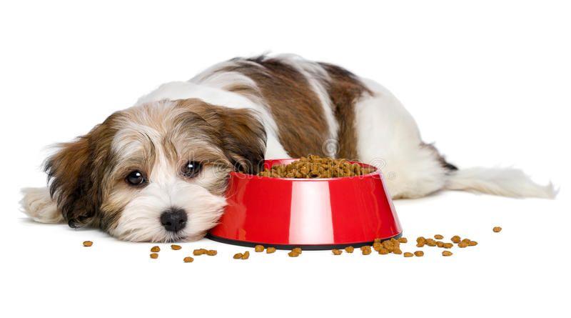 Cute Havanese Puppy Dog Is Lying Beside