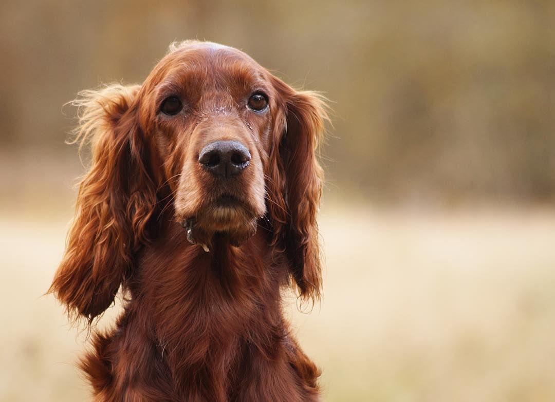 The Tweed Fox Irish Setter Best Dogs Dog Breeds