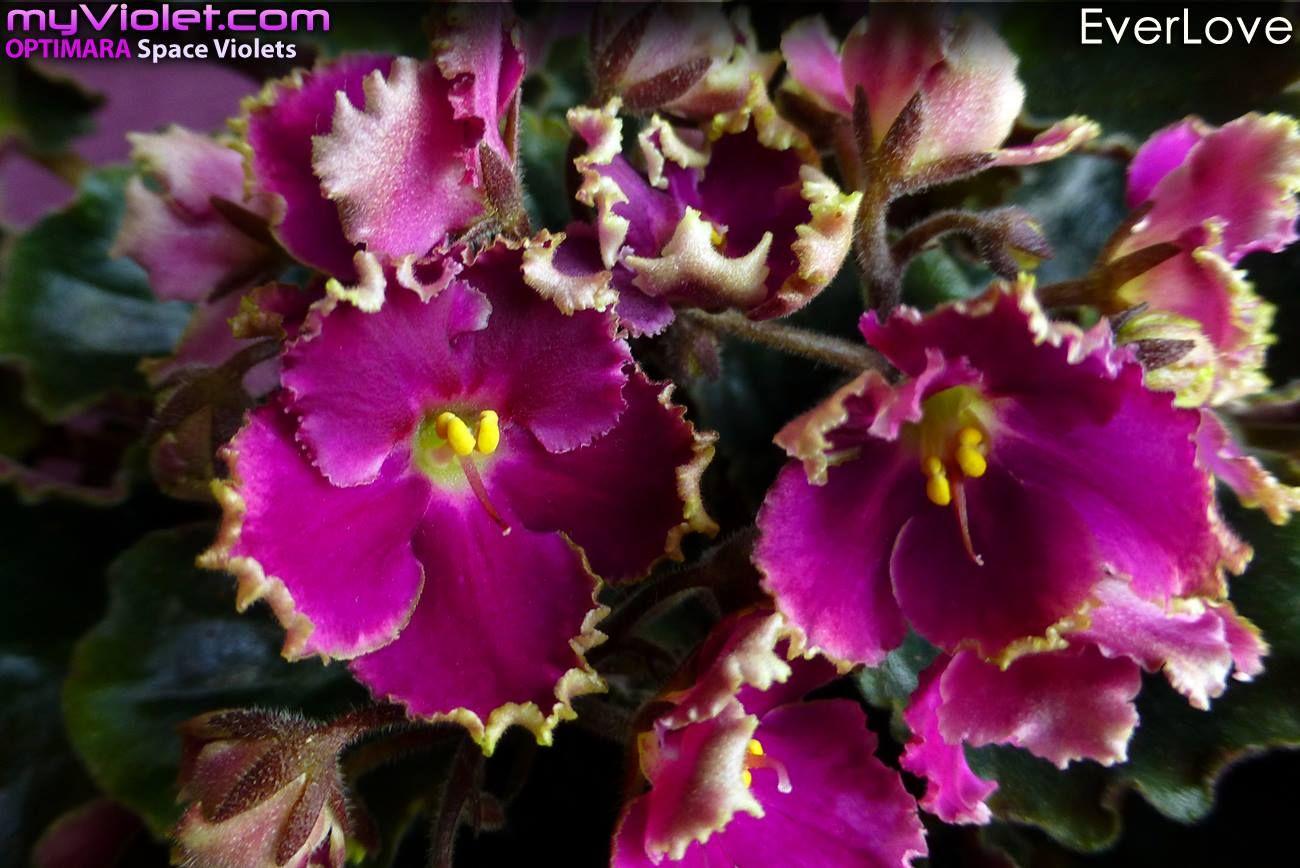 EverLove African Violet | African violets, Flowers bouquet ...