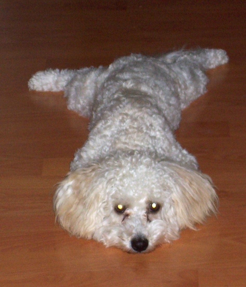 Pictures Of Dogs Mixed With Poodles