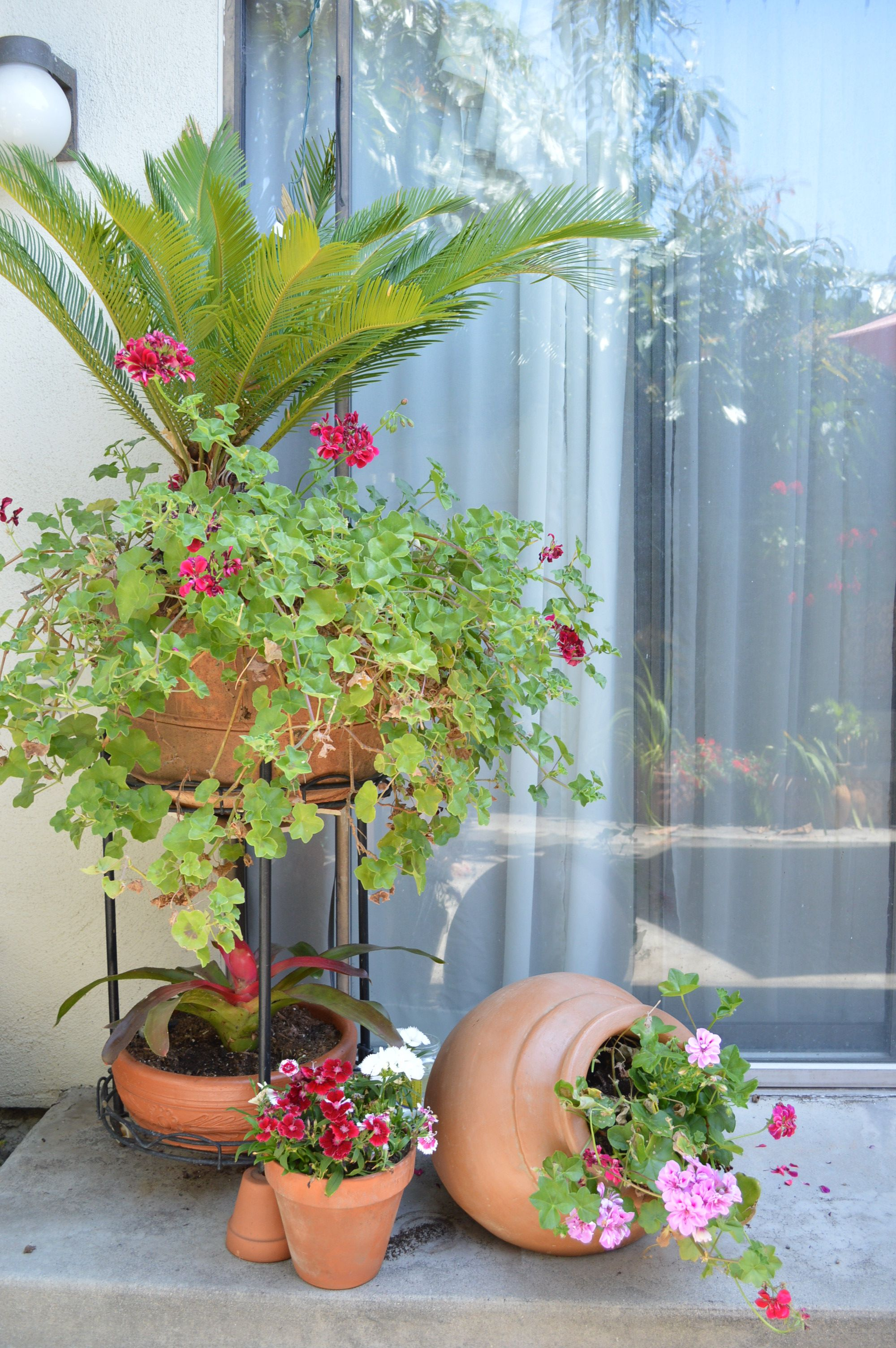 Beautiful Germanium ivy   Spanish/Mexican Garden by me   Pinterest ...