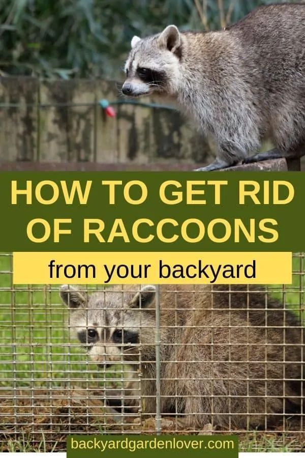 How To Get Rid Of Raccoons From Your Backyard | Getting ...