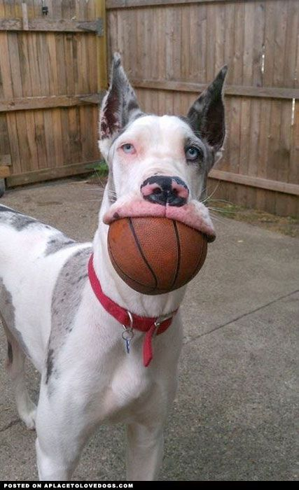 Great Dane Wants To Play Basketball Cute Animals Funny Animal