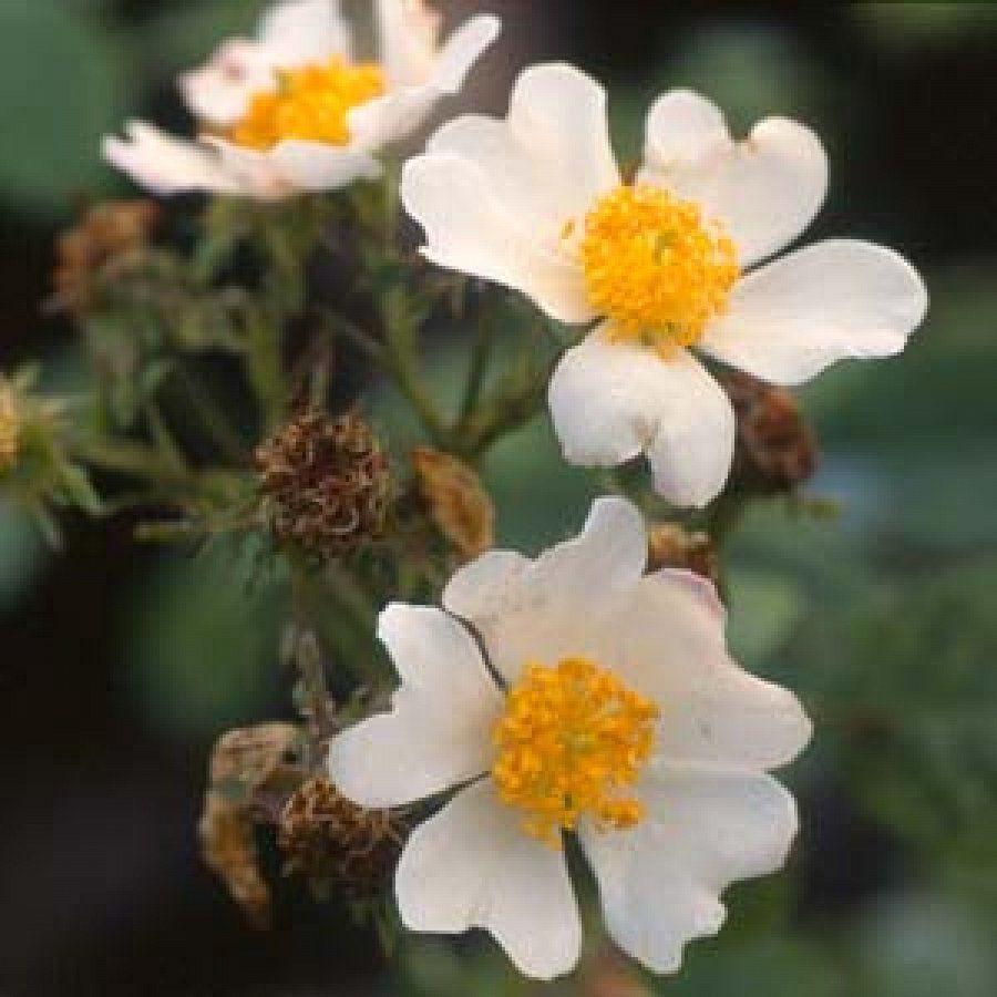 احلي صور ورود جميلة صور باقات ورد رومانسية صور زهور صور ورد بلدي احلي باقات ورد رومانسية لعيد الحب صور ازهار للبنات صور ورد Buy Roses Online Rose Wild Roses