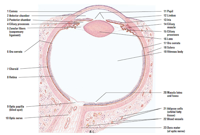 Pin By Jahmai Bancroft On Medical Medicine Notes Eyes Visual System