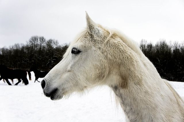 This horse is as white as snow. Learn more about this magnificent creature. http://www.luzdeliagerber.com/ohmybody/