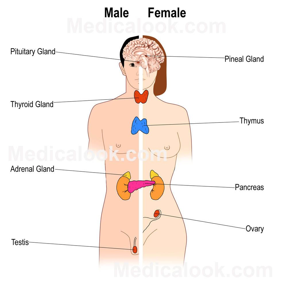 Glands In The Body Diagram Anatomy Glands Of The Body Chart Anatomy Chart Body Endocrine System Endocrine System Hormones Human Body Systems Projects