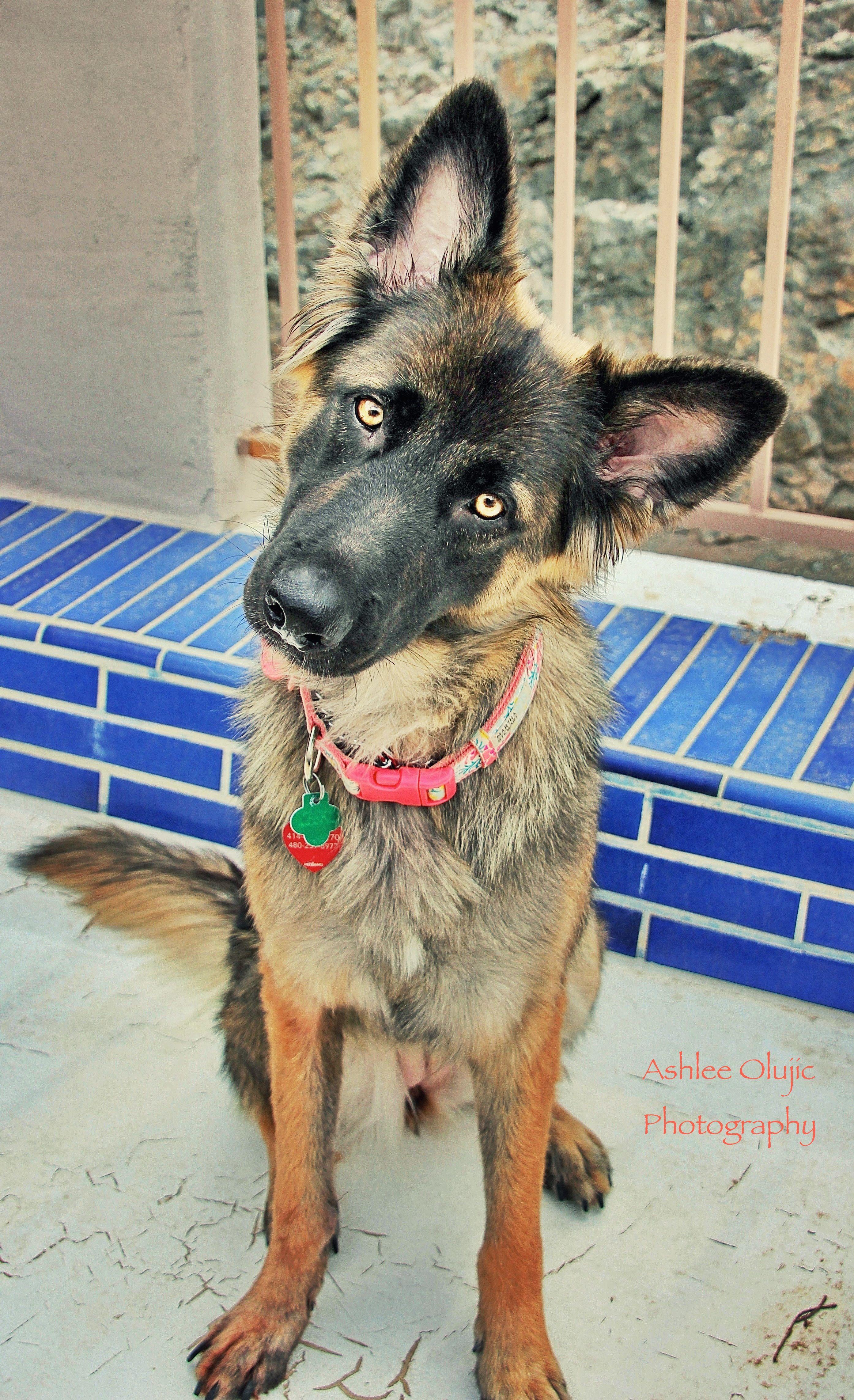 Malinois Belgian Shiloh Shepherd Gorgeous Smart And Beautiful Breed Dog Mixes Shiloh Shepherd Cute Animals