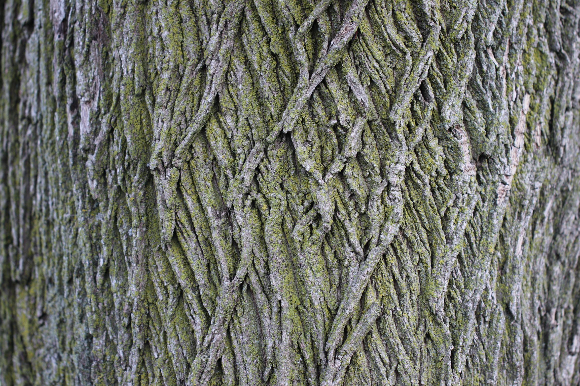 White Ash Tree Bark By Tonico Silva Ash Tree Bark Ash Tree White Ash Tree