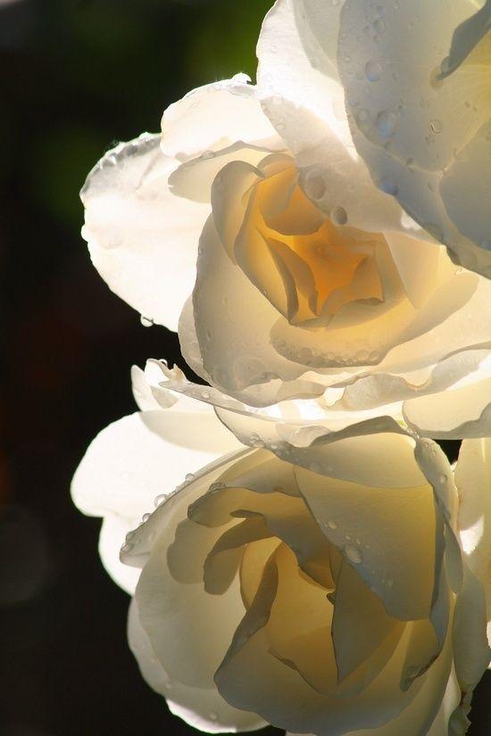 White Rose By Janny Dangerous Bunga Cantik Bunga Cahaya