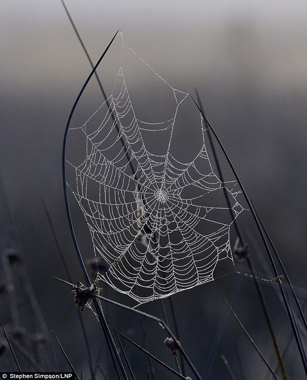 In a spin: A frosty spiders web pictured at Richmond Park, Surrey