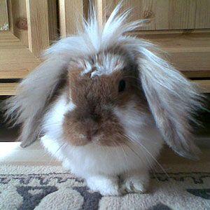 Omg Look At This Precious Thing Pet Bunny Lionhead Rabbit House Rabbit